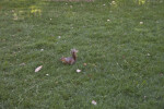Squirrel Running in Grass at Capitol Park in Sacramento