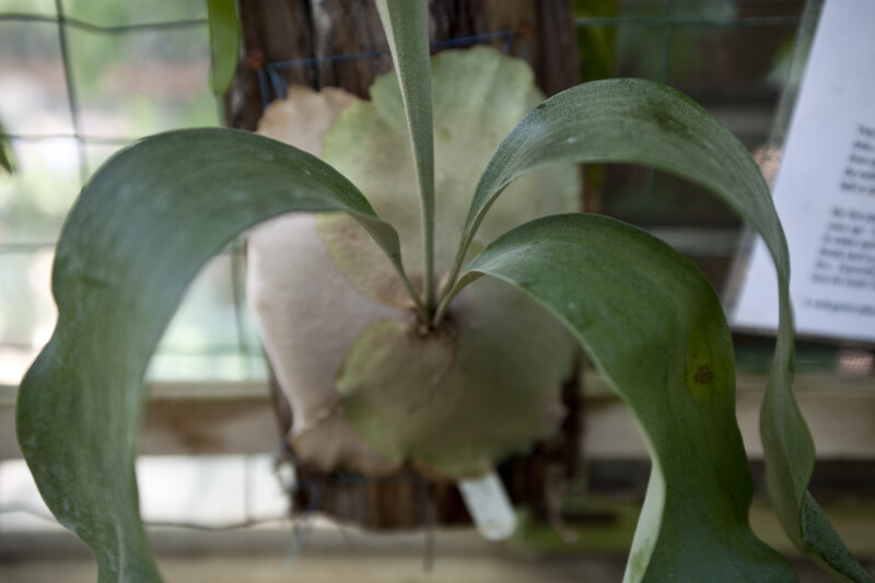 Staghorn Fern Base