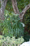 Staghorn Fern Pictured Behind a Bush