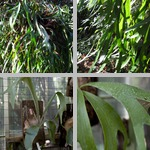 Staghorn/Elkhorn Ferns photographs