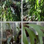 Staghorn/Elkhorn Ferns photographs