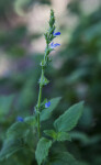 Stalk of River Sage with Tiny Purplish-Blue Flowers