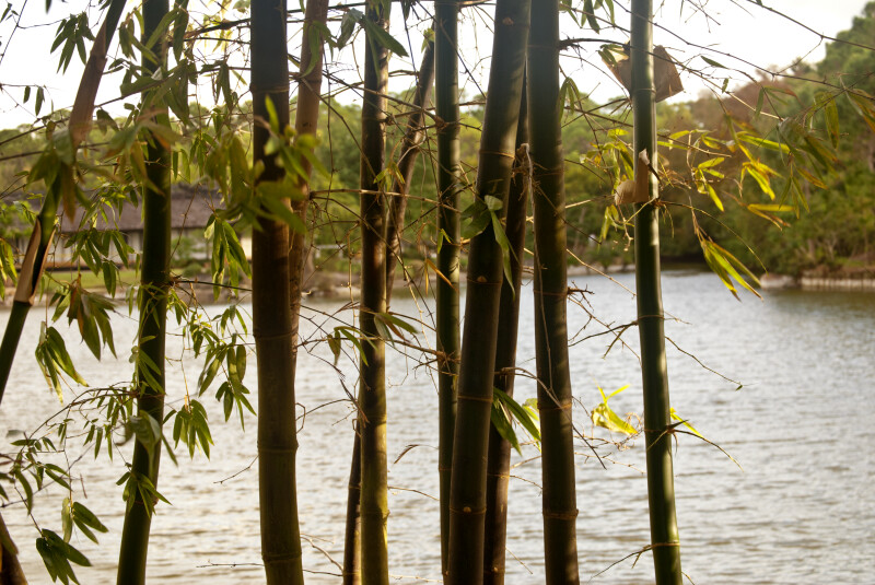 Stalks of Bamboo Plants Pictured Against Large Pond