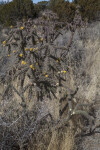 Stand of Walkingstick Cholla