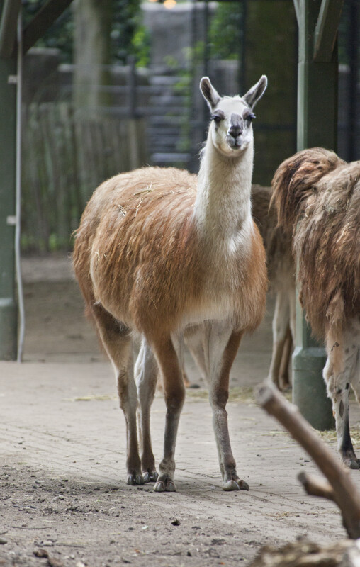 Standing Llama at the Artis Royal Zoo