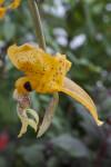 """""""Stanhopea gibbosa"""" Flower"""