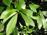 Star Anise Leaves