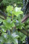 Star-Like Tree Ivy Plant Leaves