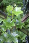 Star-Like Tree Ivy Plant Leaves