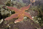 Starfish Attached to Rocks