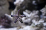 Starfish with Five Arms Attached to Glass