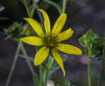 Starry Rosinweed Flower with Yellow Petals
