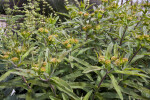 Stems, Leaves, and Emerging Yellow Flower Heads of Butterfly Weed