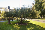 Stiff Bottlebrush Tree at Capitol Park in Sacramento