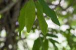 Stigmaphyllon sagraeanum Leaves