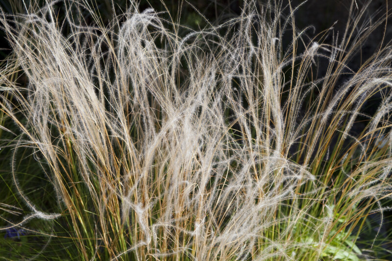 Stipa Tirsa Detail