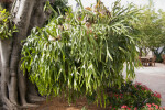 Strangler Fig and Staghorn Fern