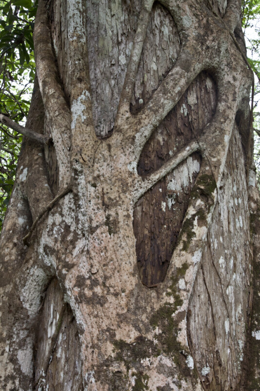 Strangler Fig Branches Engulfing Trunk of a Tree