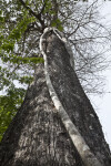 Strangler Fig Climbing Bald Cypress