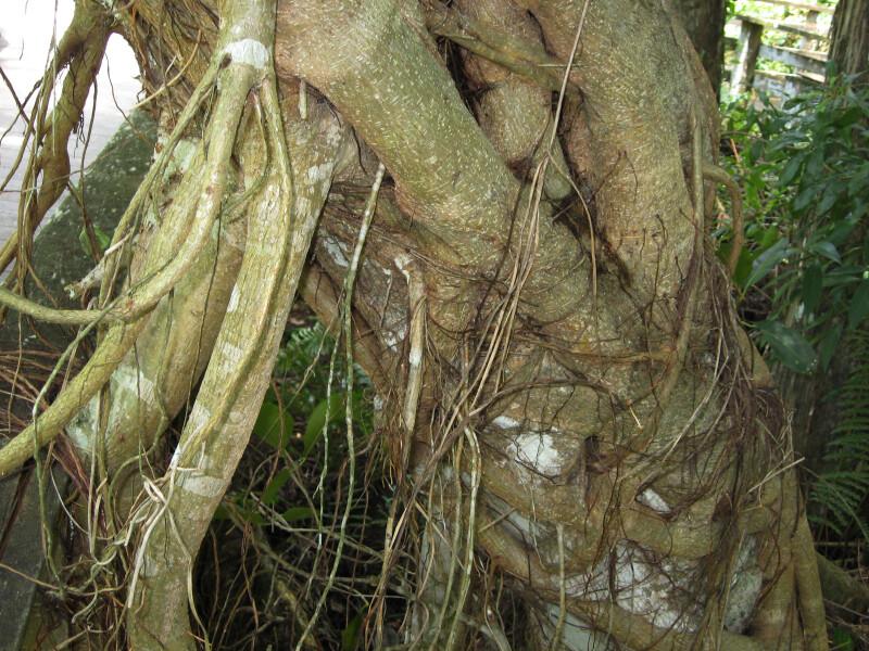 Strangler Fig Detail