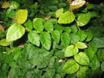 Strangler Fig Leaves