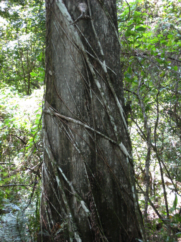 Strangler Fig on Tree