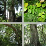 Strangler Figs photographs