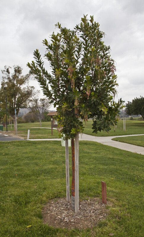 Strawberry Tree at Martha McLean – Anza Narrows Park