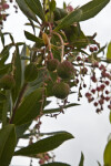 Strawberry Tree Buds and Leaves