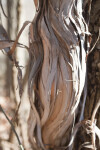 Stringy Bark of a Vine
