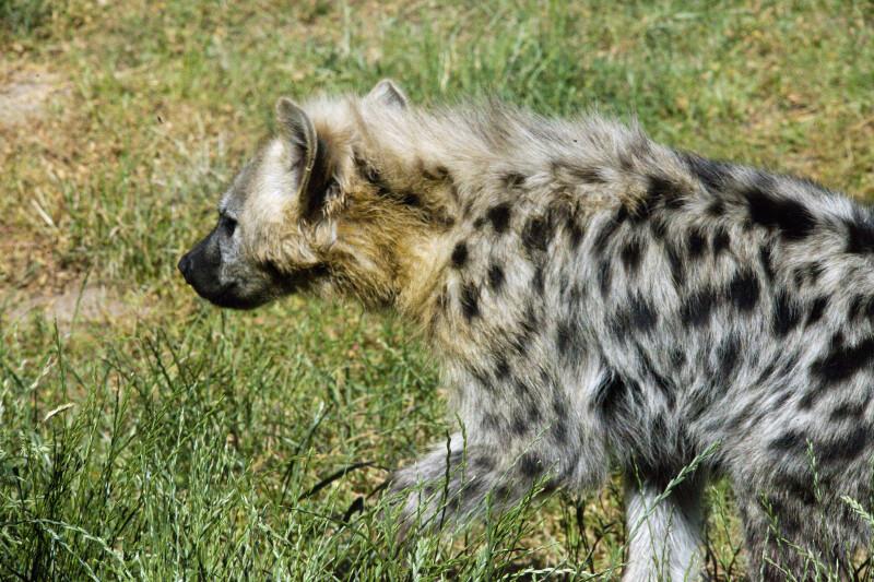Striped Hyena Detail