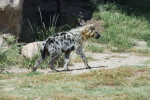 Striped Hyena Side