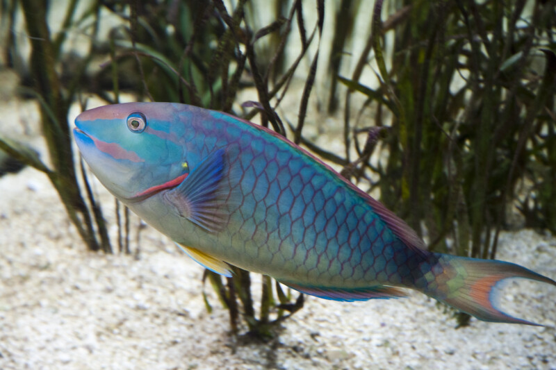Striped Parrotfish Side View