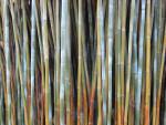 Stripestem Bamboo
