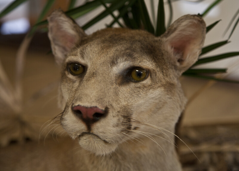 Stuffed Bobcat's Face