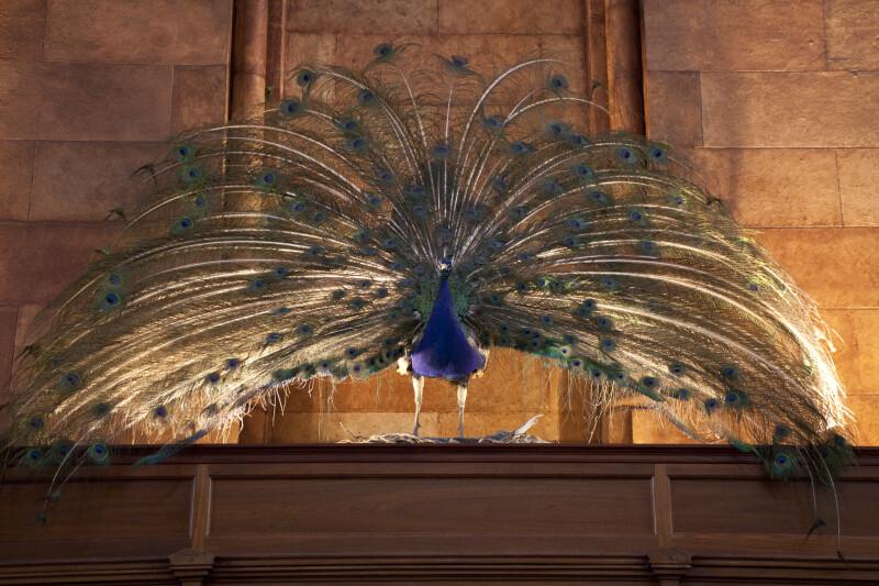 Stuffed Peacock