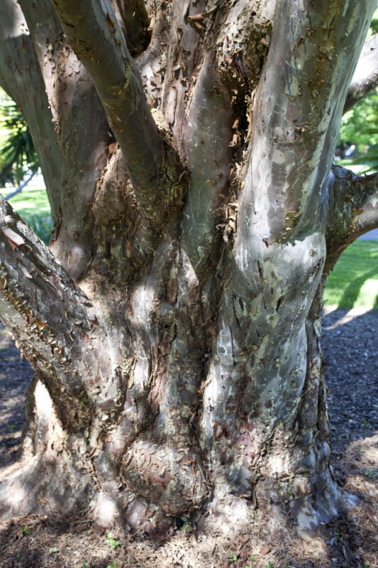 Sturdy Trunk of a Guadalupe Island Cypress Tree