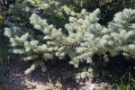 Subalpine Fir Branch