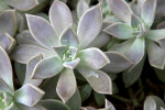 Succulent Gray Ghost Plant Leaves