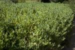 Succulent Hedge