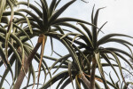 Succulent Leaves of a Tree