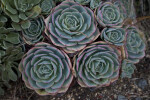 Succulent Plant With Bluish-Green Leaves