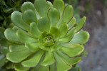 Succulent Plant With Bright Green Leaves