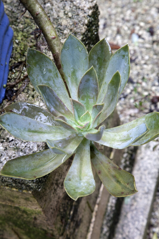 Succulent Plant with Dully-Colored Leaves at the Kanapaha Botanical Gardens