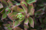 Succulent Plant with Light-Green Leaves and Pink Tips