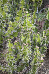 Succulent Plant with Many Prickles