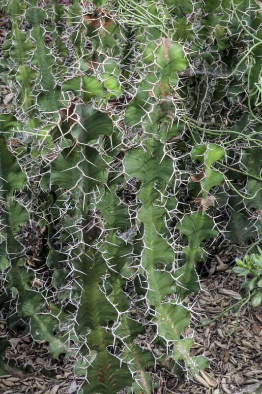 Succulent Plant with Multiple Prickles