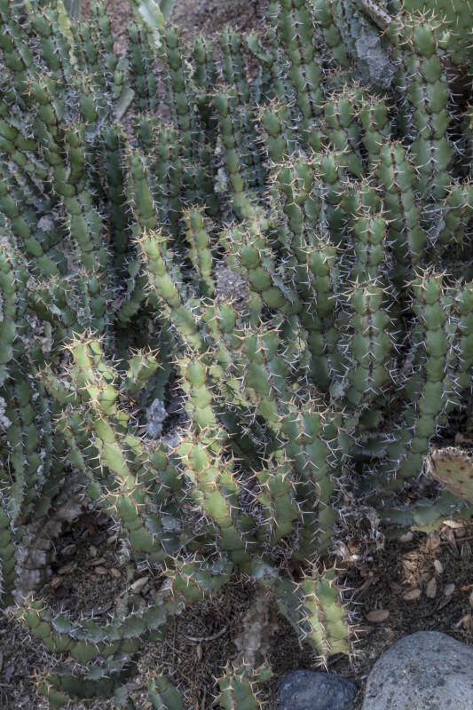 Succulent Plant with Numerous Prickles