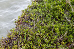 Succulent Shrub Growing Near Water