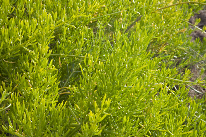 Succulent Shrub with Bright-Green Leaves